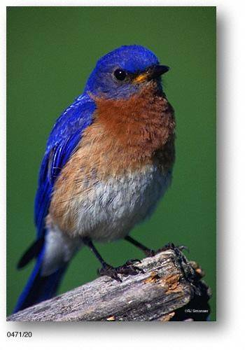 Blue bird - photo#24